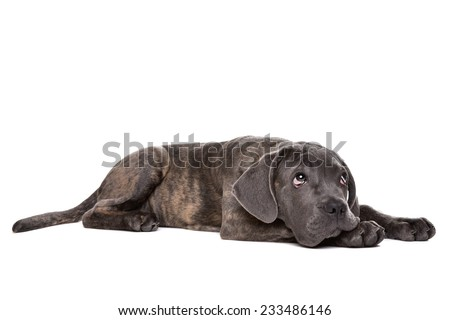 grey cane corso puppy dog laying down in front of a white background and looking up - stock photo
