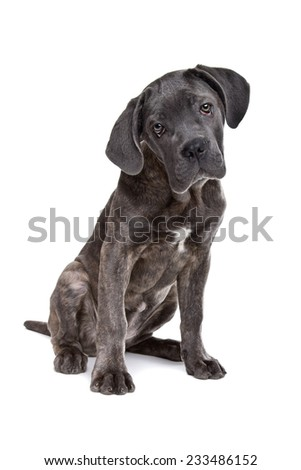 grey cane corso puppy dog sitting in front of a white background and looking at camera - stock photo