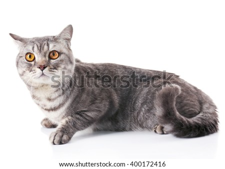 Grey cat isolated on white background - stock photo
