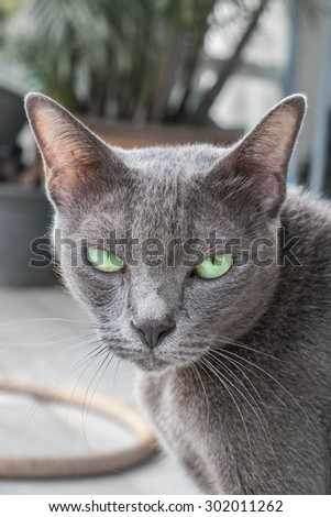 Grey cat looking at camera