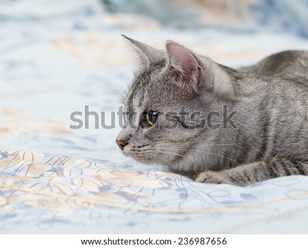 Grey cat lying on bed, playing young kitten over blur background, cat ready to jump, curious cat - stock photo