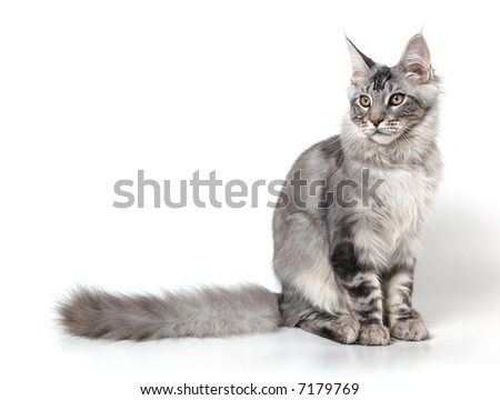 grey cat of maine coon breed - stock photo