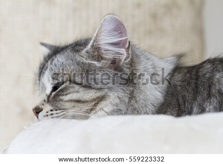 Grey cat of siberian breed on the scratching post