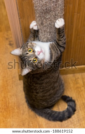 Grey cat sharpening his claws on the claw sharpener - stock photo