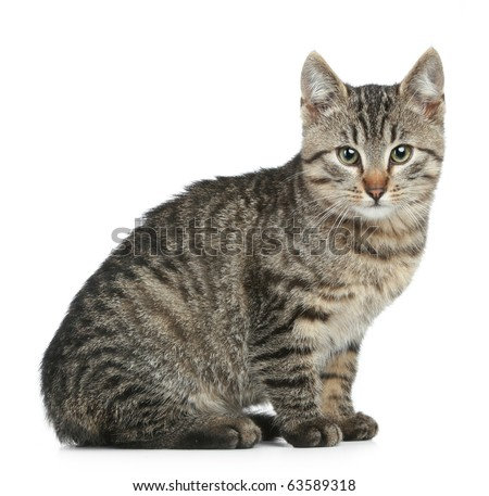 Grey cat sitting on a white background