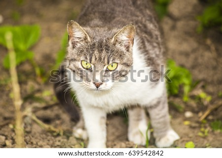 grey cat standing outside ,watching ,white ,close up ,macro ,green eyes ,beautiful ,looking ,feline ,friend ,animal, domestic ,near