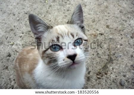 grey Cat with blue eyes  - stock photo