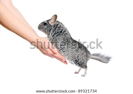 Grey chinchilla and human hands. Is isolated.