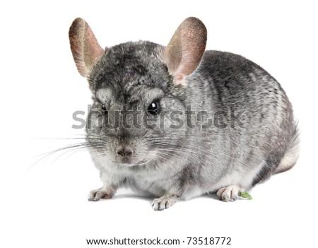 Grey chinchilla. isolated. - stock photo