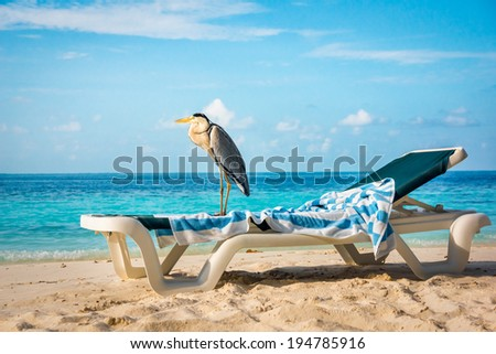 Grey Chiron on a sun lounger on the beach. Maldives Indian Ocean. - stock photo