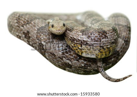 Grey Corn Snake - Elaphe Guttata - isolated on white background - stock photo