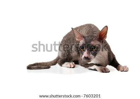 grey cornish rex cat on white background with shadow - stock photo