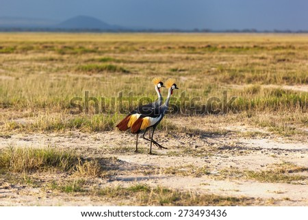 Grey Crowned Crane in the savannah of Masai Mara, Kenya, birds of Kenya, crowned, masai, mara, birds, kenya, white, grey, park - stock photo