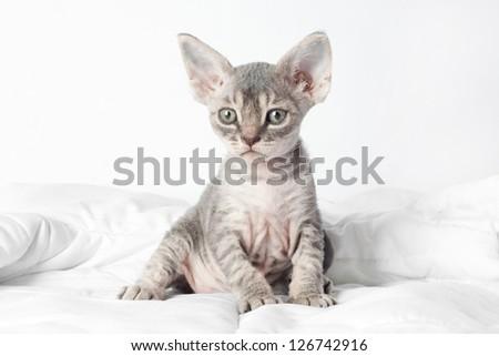 grey devon rex kitten - stock photo