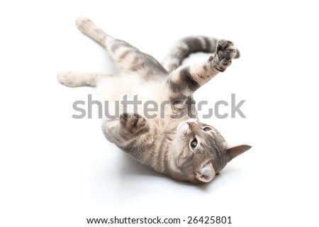 Grey domestic cat in playful feeling - stock photo