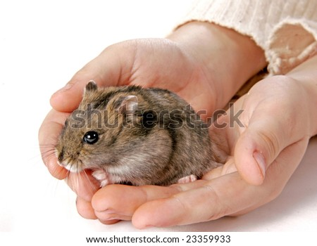 grey domestic hamster sitting in children hands - stock photo