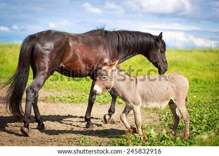 Grey donkey and black horse - stock photo