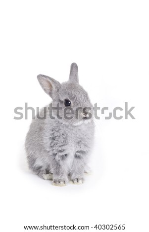 Grey dwarf baby bunny - stock photo