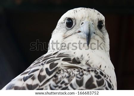 Grey falcon close up, Dubai, UAE - stock photo