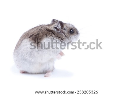 grey fluffy hamster sitting on his hind legs, turned around and looks back on a white background