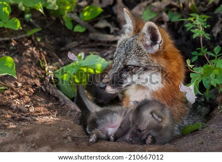 Grey Fox (Urocyon cinereoargenteus) and Kit Lying in Den - captive animal - stock photo