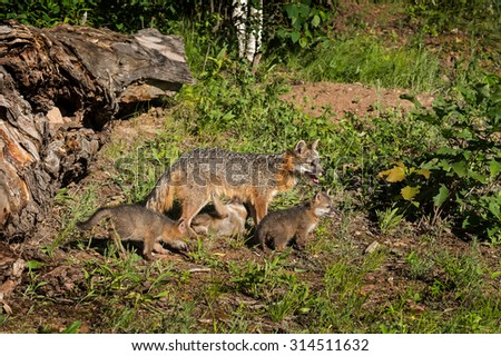 Grey Fox Vixen and Kits (Urocyon cinereoargenteus) One Feeding - captive animals