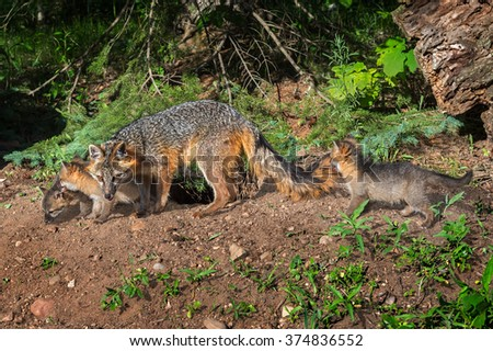 Grey Fox Vixen and Kits (Urocyon cinereoargenteus) Walk Along - captive animals