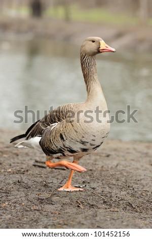 Grey Geese - stock photo