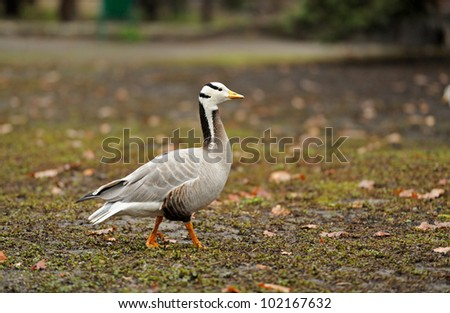 Grey geese are in a natural habitat - stock photo