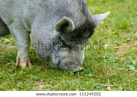 Grey hairy small pig on green grass - stock photo