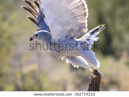 Grey Hawk taking off from a  branch. - stock photo