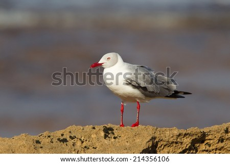 Grey headed Gull (Chroicocephalus cirrocephalus) perched on rocks with a blurred natural background - stock photo