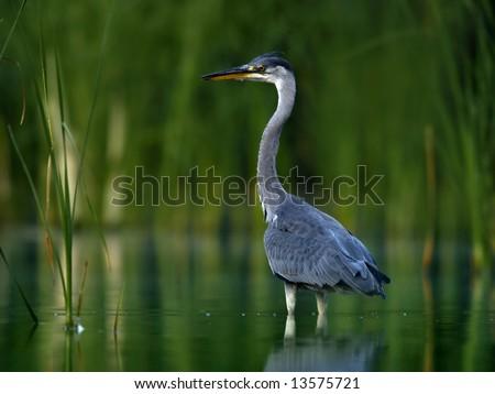 Grey Heron (Ardea cinerea) - stock photo