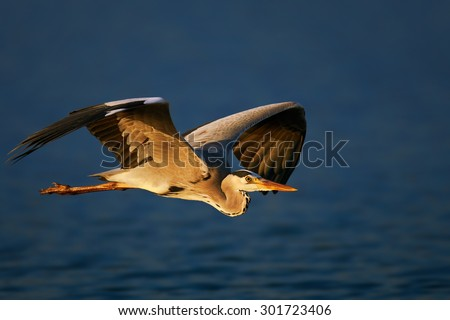 Grey heron (Ardea cinerea) flying low over blue water - Kruger National Park (South Africa) - stock photo