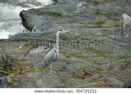 Grey Heron - Ardea cinereaIn East Lyn River, Lynmouth, Devon - stock photo