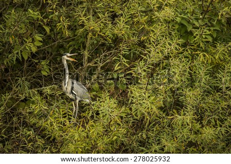 Grey Heron, ardea cinerea, sitting in a tree squawking - stock photo