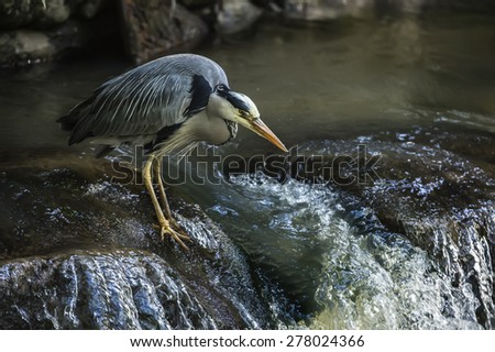 Grey Heron, ardea cinerea, sitting on the edge of a waterfall - stock photo