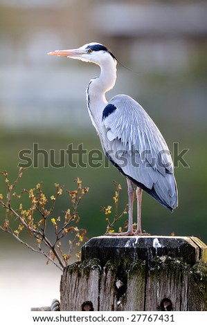 Grey Heron (ardea cinerea) standing on a wooden post on the River Thames, London, England, UK - stock photo