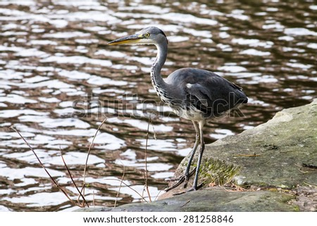 Grey Heron (Ardea cinerea), walking next to canal. - stock photo