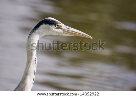 Grey heron at the edge of a canal