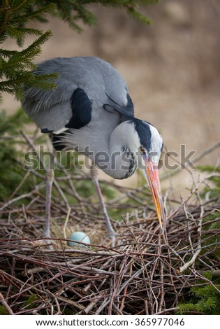 Grey heron building nest with egg, on the pine tree - stock photo