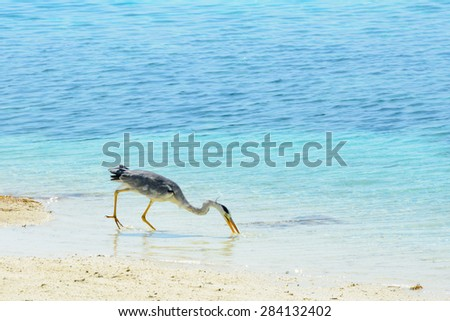 Grey heron catches prey in the shallow water at the beach - stock photo
