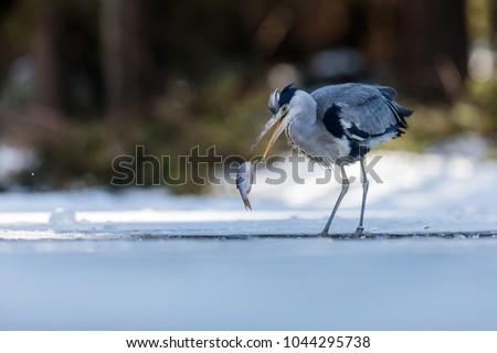 stock-photo-grey-heron-caught-fish-on-th