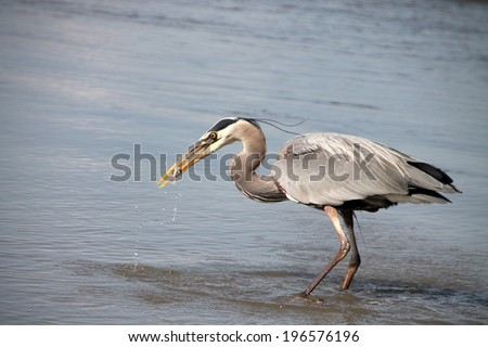 Grey heron eating just caught fish - stock photo