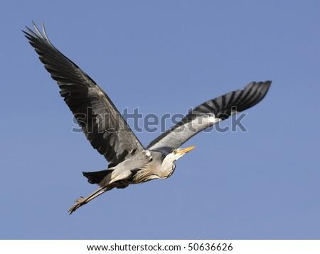 Grey Heron in flight in the blue sky - stock photo