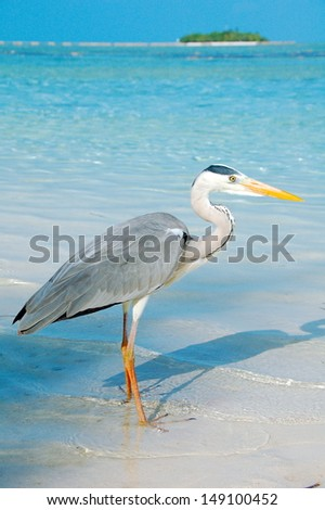 Grey Heron in the Maldives. A single bird standing on the beach with a lovely backdrop of clear blue sea, blue skies and an island in the background.