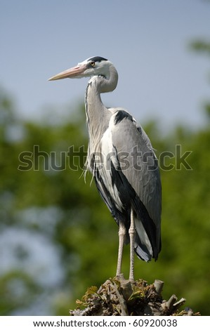 Grey heron sitting on a tree - stock photo