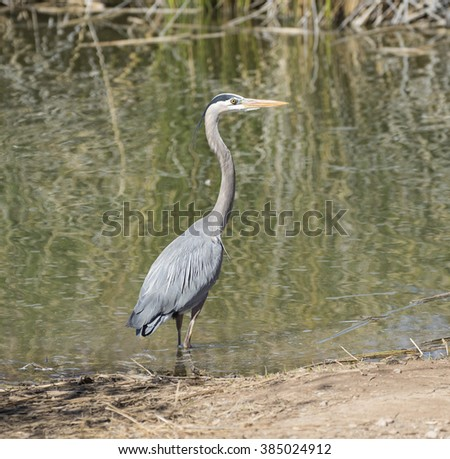 Grey Heron standing at the edge of a pond - stock photo