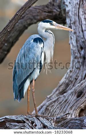 Grey Heron standing on tree - stock photo