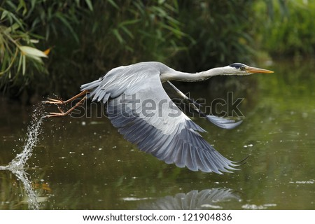 Grey heron take off - stock photo